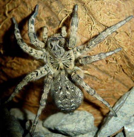 тарантул паук тарантул тарантул паук  Животные